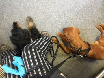 Bussresa med två hundar